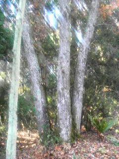 5本足広葉樹.jpg